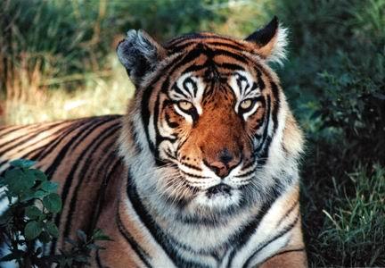 Tiger 2-2